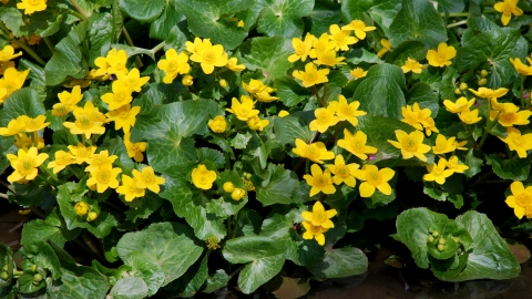 Tips on how to care marsh marigold